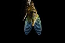 Emergence Of Cicadas
