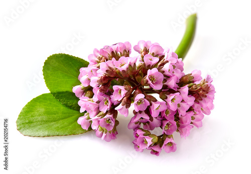Close-up view to pink flower bergenia (also called elephant-ear, badan, Siberian tea, Mongolian tea, leather bergenia) isolated on white background Canvas Print