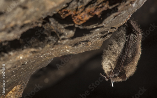 Fotomural  Close up small bat hanging on the wall of the stole