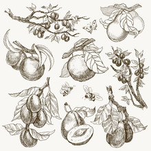Big Set Of Garden Fruits Engraving Style. Isolated On Background. Retro Style Hand Drawn Illustration. Vintage Plum, Apple, Pear. Vector Design