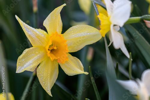 beautiful summer Cyclamineus daffodils