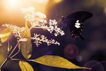 Butterfly On Flower, Side View.Black Butterfly With Red And White Color On Wings Perching On White Flower For Sweet, Golden Natural Blurred Background..