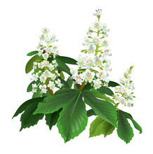 Horse Chestnut Brunch With Flowers Isolated