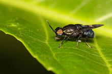Image Of Clubbed General Soldier Fly, Stratiomys , Fly, Flies (Stratiomyidae) On Green Leaf. Insect. Animal.