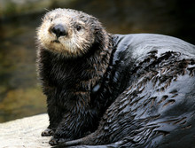 Sea Otter - Vancouver, Canada