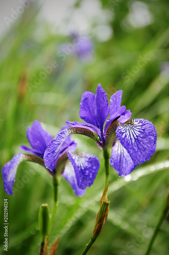 Staande foto Iris Wet blue Iris Sibirica with drops after rain in the green grass