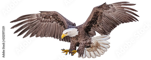 Fotografie, Tablou  Bald eagle flying swoop hand draw and paint color on white background vector illustration