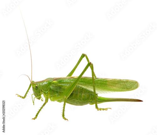 Fotomural Green locust on white