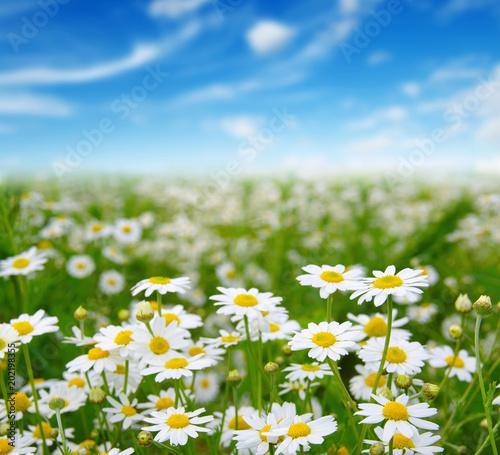 Szare   biale-margerytki-kwiaty-polne