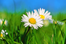 Wild Daisies On The Meadow, Summertime Image