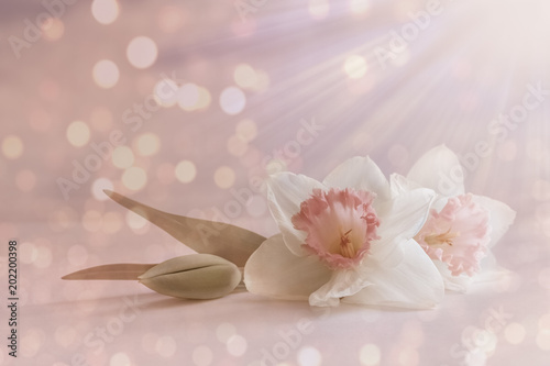 soft, white pink flower, spring blossom on abstract pastel background with blurry, blur lights. romantic floral card, composition with delicate flowers close-up, light rays for wedding