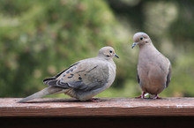 Pair Of Mourning Doves Perched...