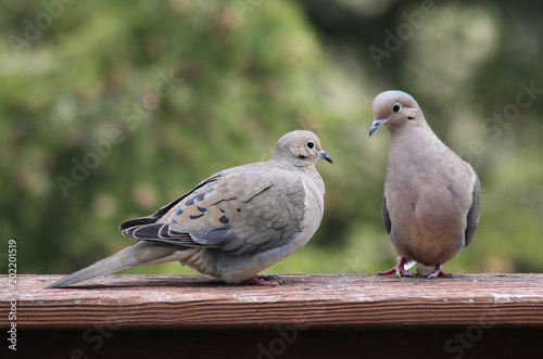 Pair of Mourning Doves Perched on Wood Railing with Green Background