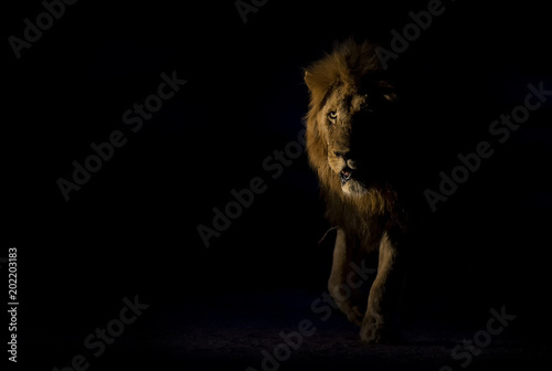 Silhouette of an adult lion male with huge mane walking in darkness