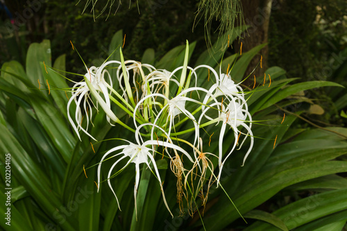 Spider lily latin name Hymenocallis a herbaceous perennial native to the lower Mississippi Valley and Southern United States through Central America and the Carribean