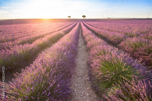 Deurstickers Platteland Big lavender field on sunset