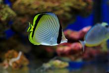 Vagabond Butterflyfish - Chaetodon Vagabundus