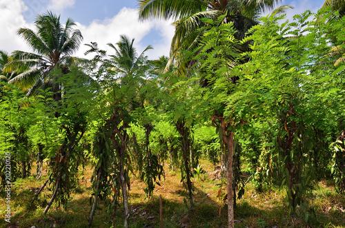 Cuadros en Lienzo Tropical vanilla plantation