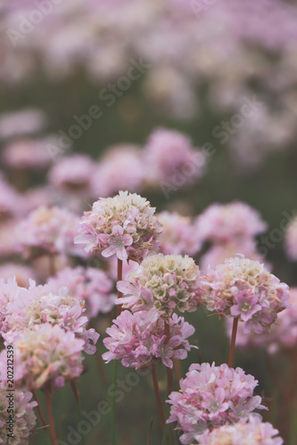 Foto op Plexiglas Magnolia Field with pink flowers on a spring day