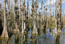 Bald Cypress Trees, Taxodium D...