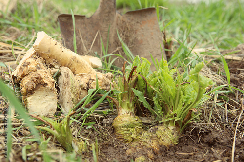 Digging out horseradish root in garden in spring Canvas-taulu