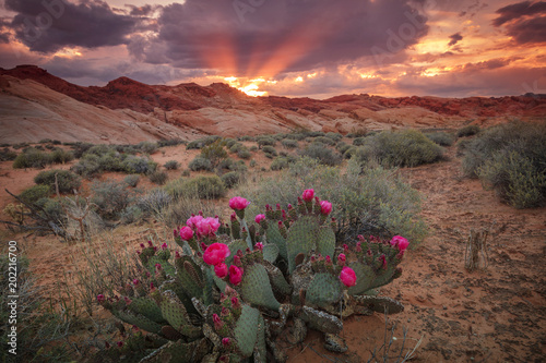 Colorful sunset with cactus flowers in Valley of Fire, Nevada, USA.