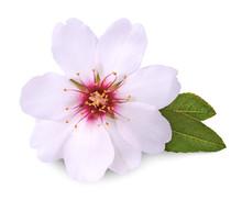 Flower Of Almond On White Back...