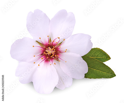 Photo  flower of almond on white background
