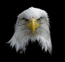 Bald Eagle On Black 18