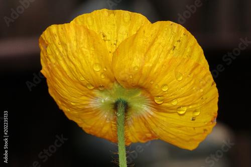 Plakat Żółty Makowy kwiat z wodnymi kroplami