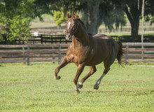 Thoroughbred Horse Stallion Ga...