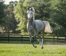 Lucitano Stallion Horse Runnin...