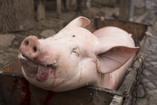 Tradicional Home Pig Kill In T...
