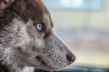 Portrait Of A Blue-eyed Siberi...