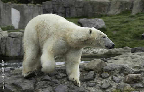 Staande foto Ijsbeer Polar Bear portret
