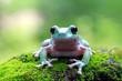 Tree frog, dumpy frog on moss
