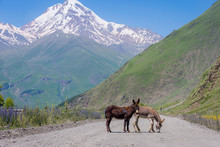 Donkeys On The Road Sno Juta, Georgia