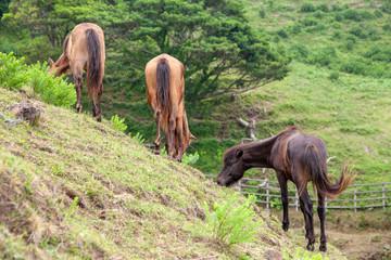 都井岬の野生馬5