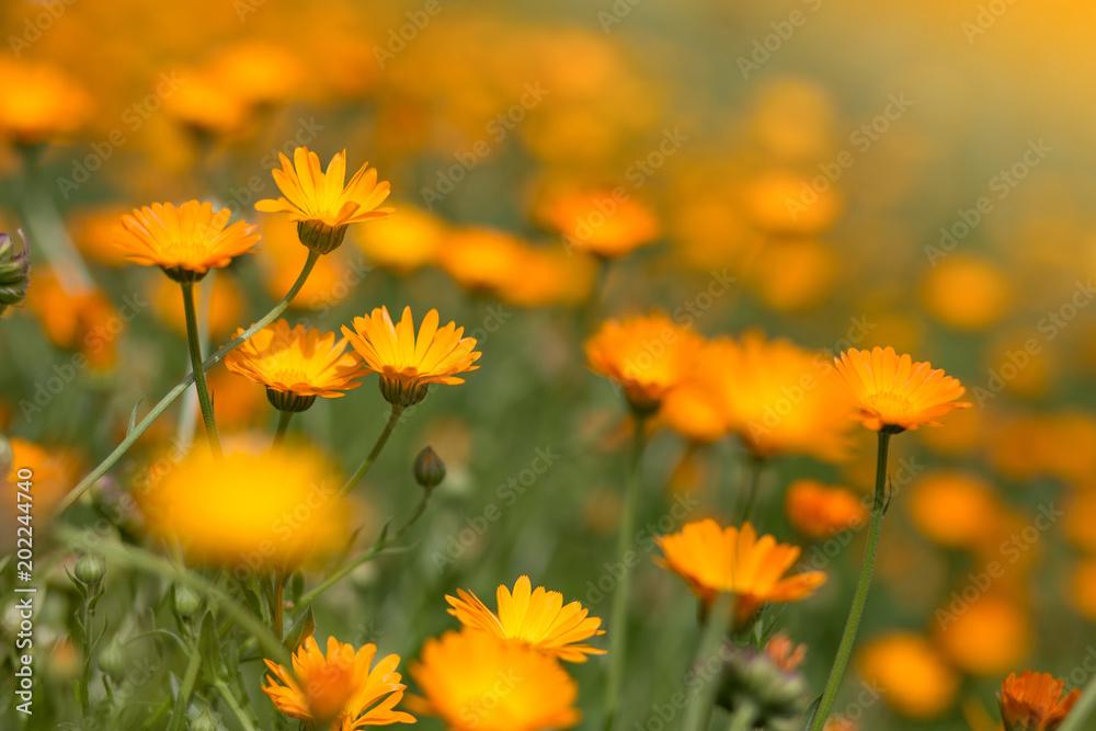 Fototapety, obrazy: Colorful flowers landscape