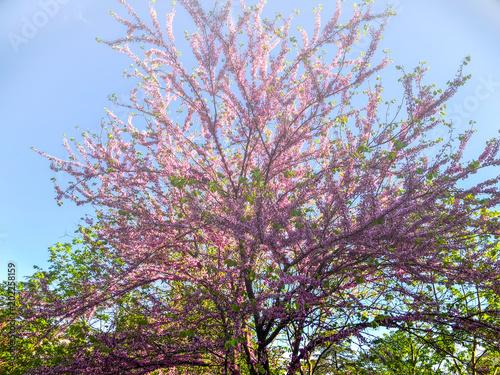 Foto op Plexiglas Magnolia Blossom trees in the city park in the spring. Nature scene with sun in sunny day.