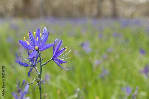 Closeup of blue Camas (Camassia Leichtlinii) flowers with selective focus