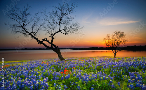 Poster Texas Beautiful Texas spring sunset over a lake. Blooming bluebonnet wildflower field and tree silhouettes.