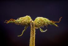 Macro Detail Of Cannabis Calyx...