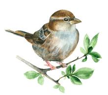 Watercolor Sparrow Bird