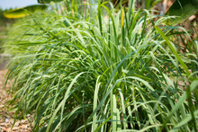 Lemongrass Or Lapine Or West Indian Were Planted On The Ground. It Is A Shrub, Its Leaves Are Long And Slender Green. It Is A Shrub, Its Leaves Are Long And Slender Green.