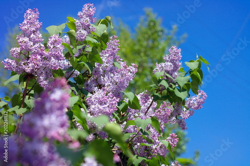 Foto op Canvas Lilac Lilac at Spring