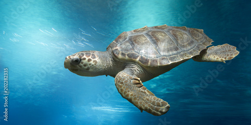 Fototapeta Loggerhead turtle, Caretta caretta, in open water
