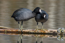 A Pair Of Affectionate American Coots Grooming Each Other During Courtship.