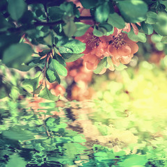 Obraz na SzkleBeautiful chaenomeles japonica Japanese flowering quince flower blossom, water reflection, light. Greeting card template. Soft vintage toned. Nature spring square background