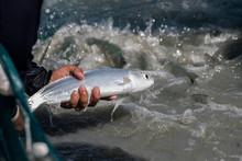 Milkfish In Fish Farm Industry...